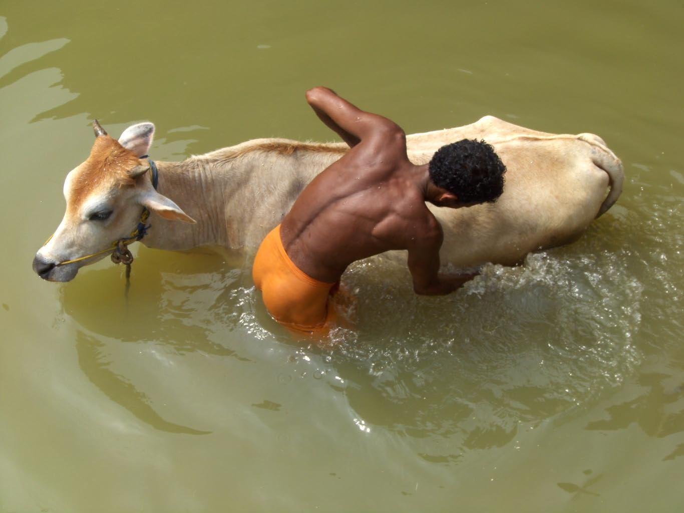 Pflege einer Kuh